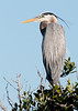 • Location - Black Point Drive • Great Blue Heron just hanging around