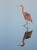 • Location - Merritt Island National Wildlife Refuge, Black Point Drive • Reddish Egret with its reflection