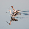 • Location - Merritt Island National Wild Refuge, Black Point Drive • A pair of American Avocet