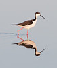 • Location - Merritt Island National Wildlife Refuge, Black Point Drive • Black-necked Stilt