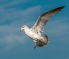 • Location - Merritt Island National Wildlife Refuge • Immature Ring-billed Gull ready to land