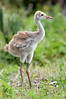 • Location - Viera Wetlands • Sandhill Crane chick looking for its parents