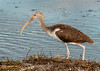 • Location - Merritt Island National Wildlife Refuge • Immature White Ibis