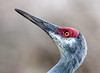 • Location - Viera Wetlands • Close-up of a Sandhill Crane