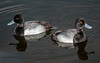 • Location - Merritt Island National Wildlife Refuge • A pair of male Lesser Scaups