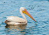 • Location - Dan Click Ponds • Portrait of a American White Pelican