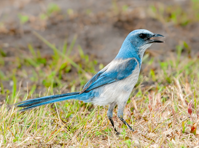 • Location - Merritt Island National Wildlife Refuge • Scrub Jay - Speaking his mind!