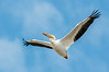 • Location - Merritt Island National Wildlife Refuge • American White Pelican in flight