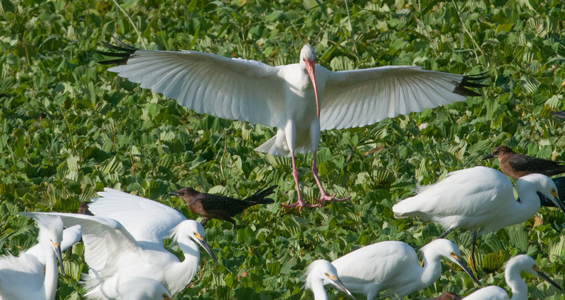 • Location - Stick Marsh • White Ibis coming in for a landing
