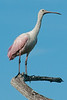 • Location - Green Cay Wetlands • Roseate Spoonbill