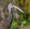 • Location - Green Cay Wetlands • Limpkin