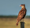 • Location - Road to Moccasin Tract • Crested Caracara