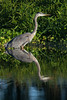 • Location - Viera Wetlands<br /> • A great Blue Heron with its reflection