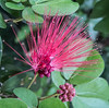 • Location - Leu Gardens • Calliandra