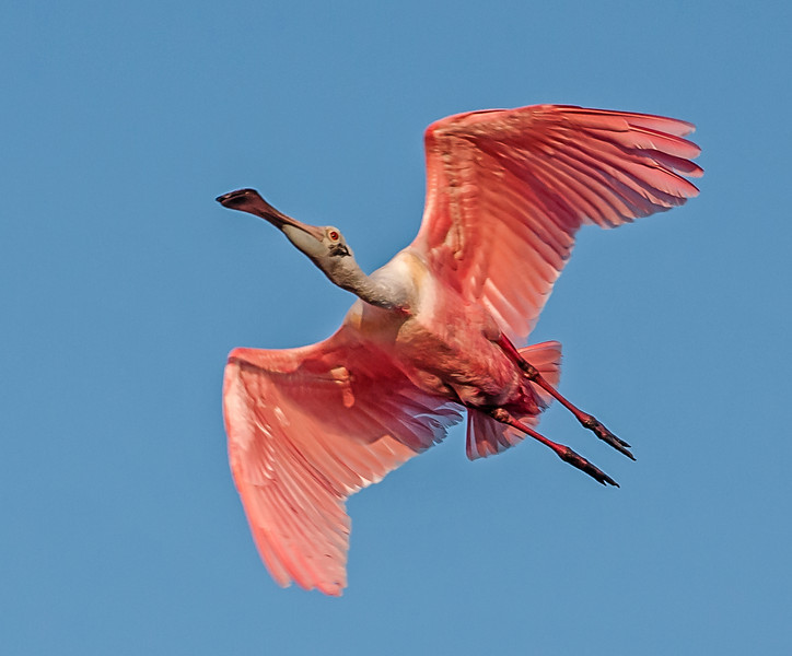 • Location - Bio Lab Road • Roseate Spoon Spoonbill in flight