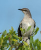 • Location - Viera Wetlands • Northern Mockingbird