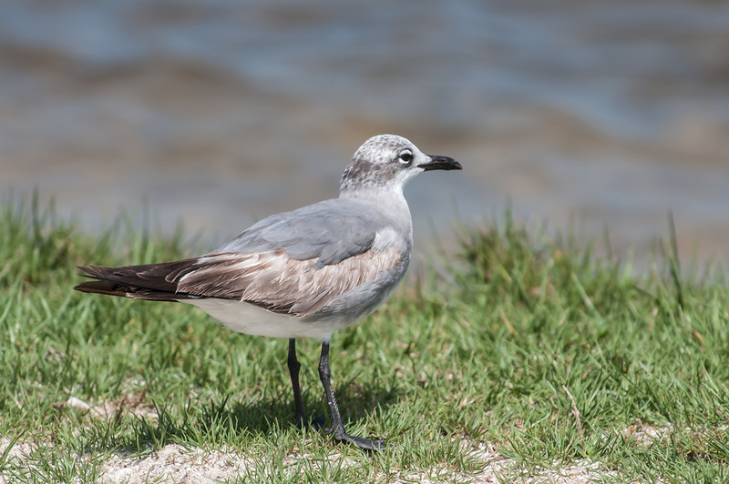 • Location - Parrish Park • Immature Laughing Gull