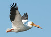 • Location - Playalinda Beach Road • American White Pelican in flight