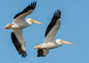 • Location - Playalinda Beach Road • A pair of American White Pelicans flying in unison