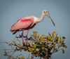• Location - Bio Lab Road • Roseate Spoon Spoonbill posing for me