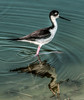 • Location - Dan Click Ponds • Black-necked Stilt with its reflection