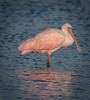 • Location - Bio Lab Road • Immature Roseate Spoon Spoonbill