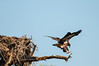 • Location - Canoe Creek Rd • Young Eaglet trying out its wings