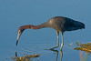 • Location - Viera Wetland<br /> • Little Blue Heron looking for something to eat