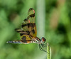 • Location - Brain Piccolo Park<br /> • Halloween Pennant Dragonfly