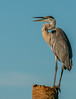 • Location - Viera Wetland<br /> • A Great Blue Heron speaking its mind