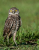 • Location - Brain Piccolo Park<br /> • Burrowing Owl with its large yellow eyes