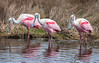 • Location - Merritt Island National Wildlife Refuge • Trio of Roseate Spoonbill