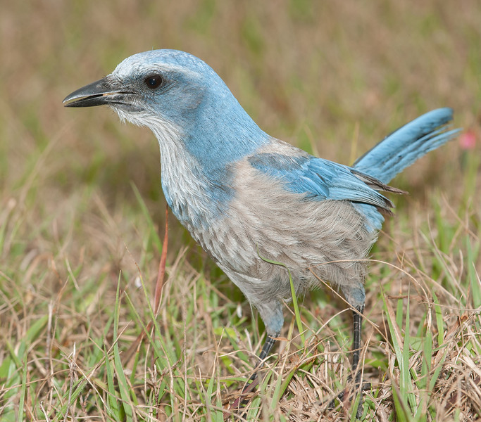 • Location - Merritt Island National Wildlife Refuge • Scrub Jay