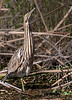 • Location - Tosohatchee State Reserve<br /> • American Bittern