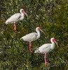 • Location - Merritt Island National Wildlife Refuge<br /> • Trio of Ibises