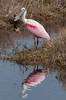 • Location - Merritt Island National Wildlife Refuge<br /> • Roseate Spoonbill