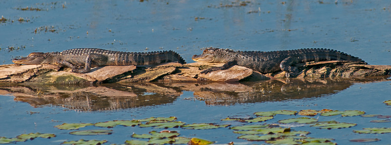 • Location - Viera Wetlands • A pair juvenile American Alligators sunning themselves