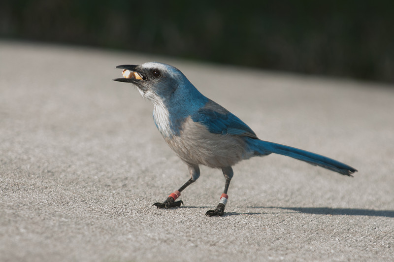 • Location - Merritt Island National Wildlife Refuge • Scrub Jay  - BTW the Ranger gave me peanuts to feed the Scrub Jays