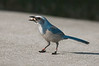 • Location - Merritt Island National Wildlife Refuge<br /> • Scrub Jay  - BTW the Ranger gave me peanuts to feed the Scrub Jays