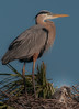 • Location - Viera Wetlands and surrounding areas<br /> • Great Blue Heron mom with its baby