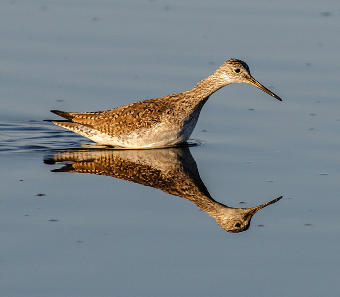 • Location - Merritt Island National Wildlife Refuge • Lesser Yellowlegs with its reflection