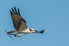 • Location - Viera Wetlands and surrounding areas • Osprey in flight with some nesting material