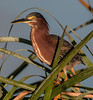 • Location - Viera Wetlands and surrounding areas • Green Heron