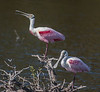 • Location - Merritt Island National Wildlife Refuge • A pair of Roseate Spoonbill
