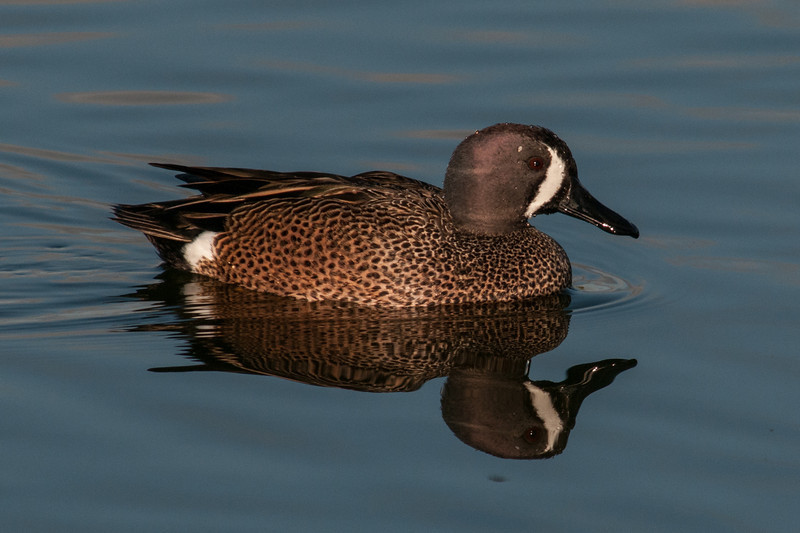 • Location - Viera Wetlands and surrounding areas • Female Blue-winged Teal