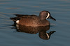 • Location - Viera Wetlands and surrounding areas<br /> • Female Blue-winged Teal