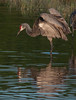 • Location - Viera Wetlands and surrounding areas • Sandhill Crane