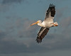 • Location - Viera Wetlands and surrounding areas • American White Pelican In flight