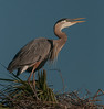 • Location - Viera Wetlands and surrounding areas • Great Blue Heron calling for its mate