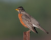 • Location - Viera Wetlands and surrounding areas • American Robin